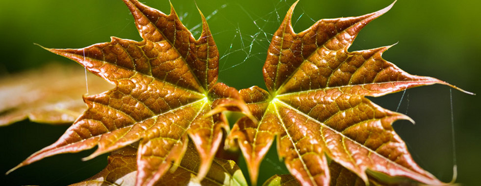 Two spring expanding maple leaves with cobweb threads